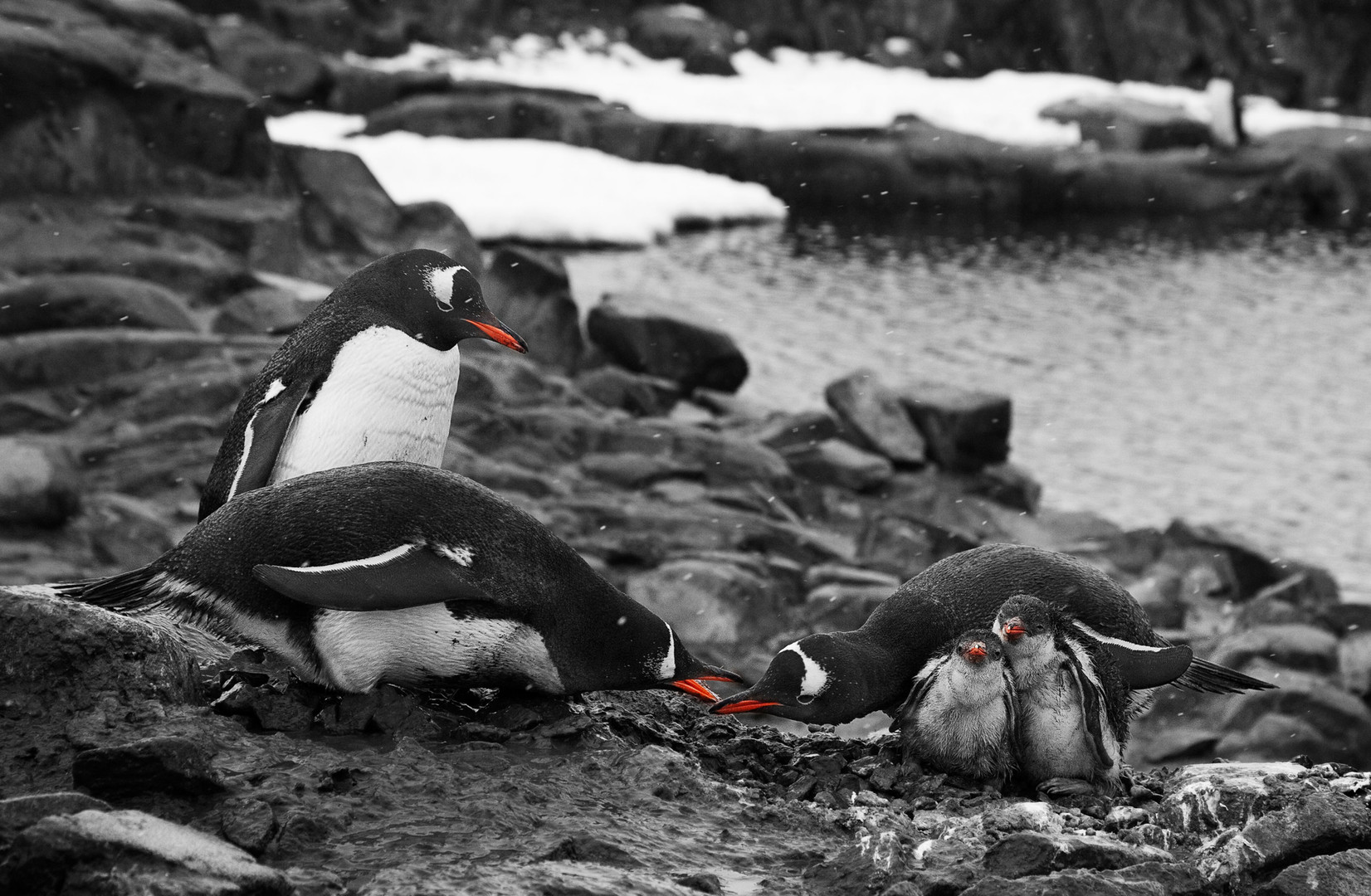 Family Dispute Continued, Gentoo Penguins