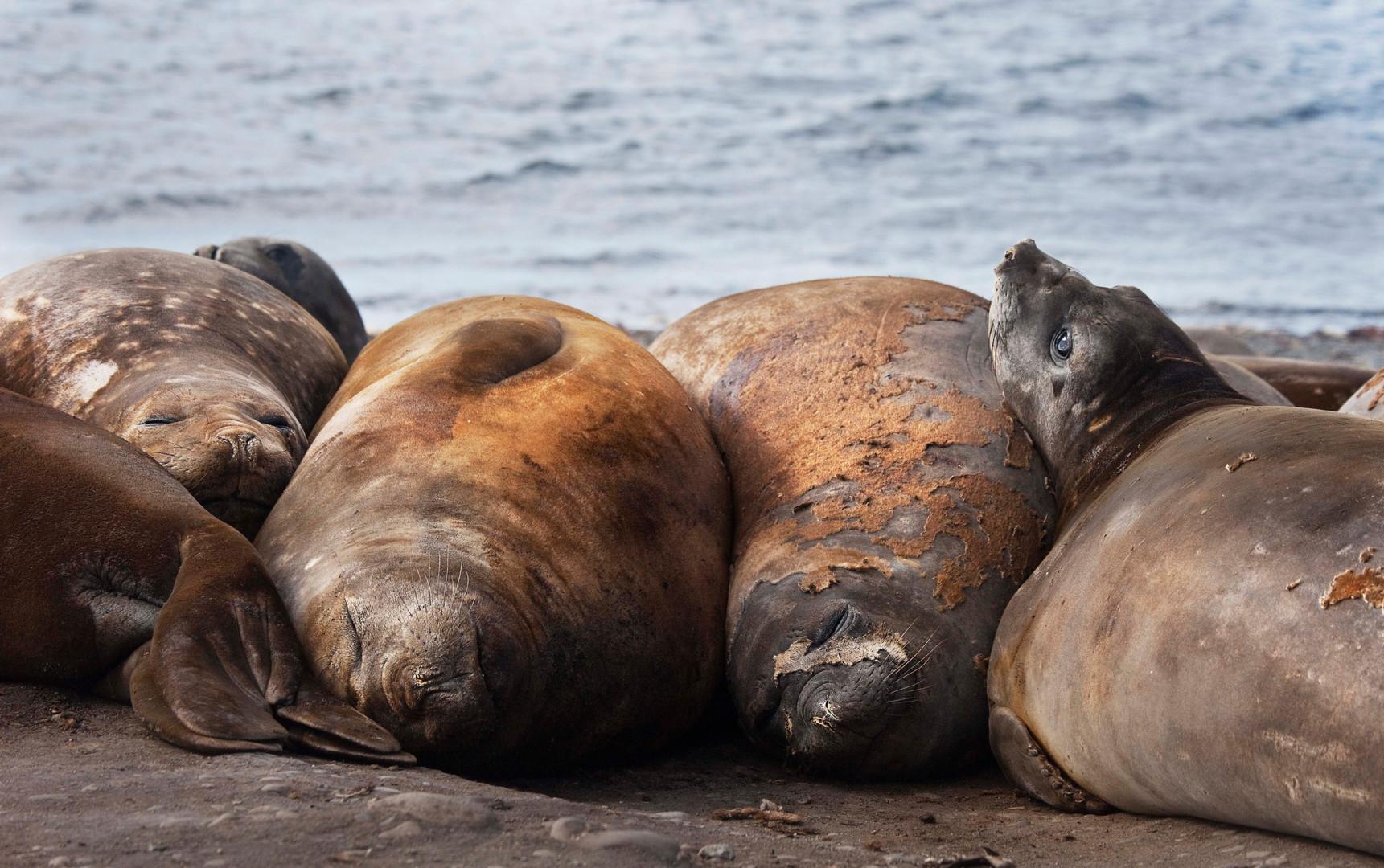 Insomnia, Elephant Seals
