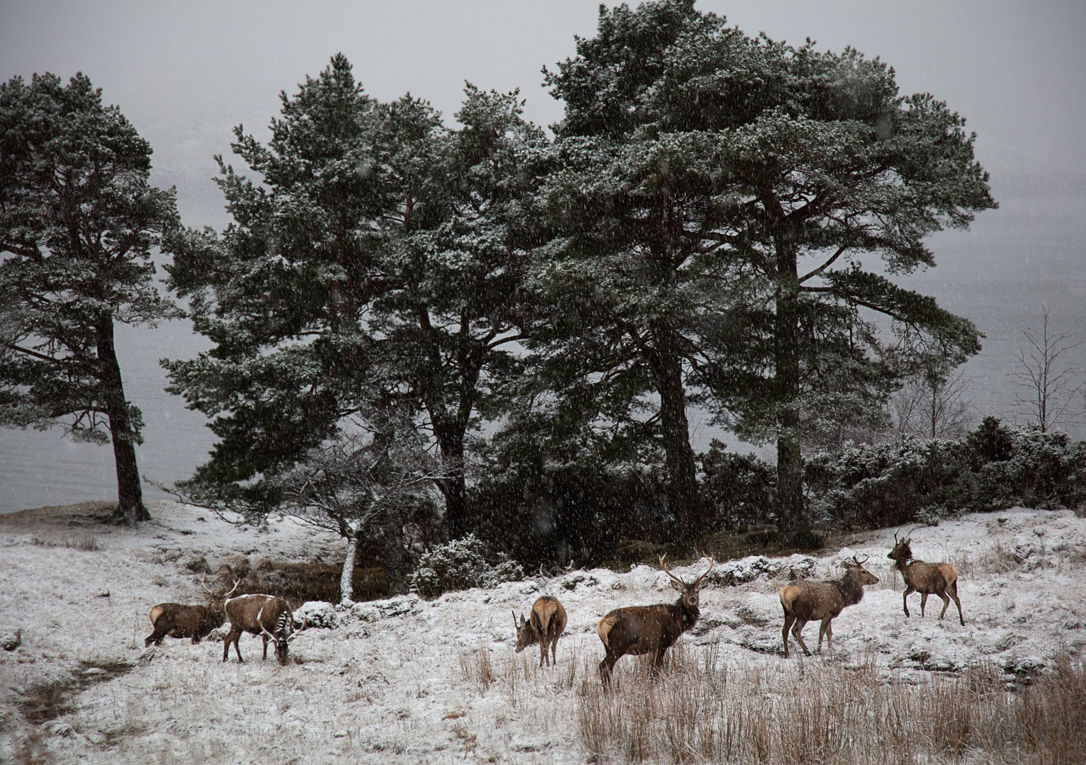 Stags by Trees