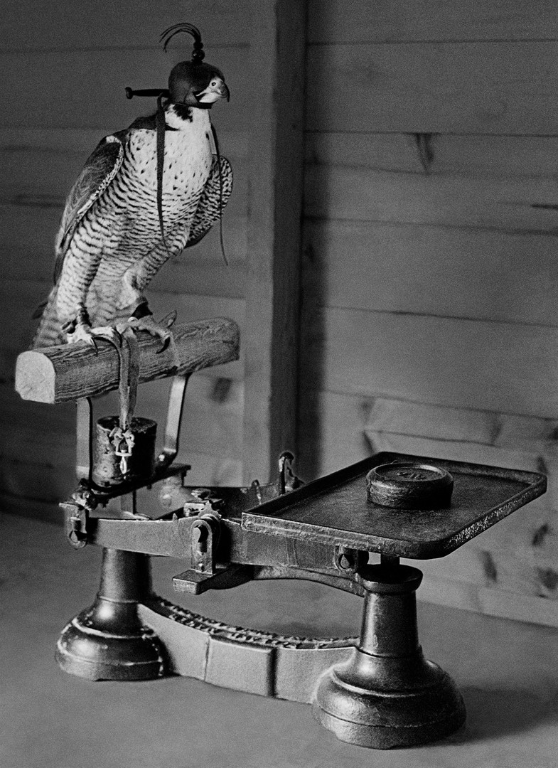 Weighing Peregrine Falcon