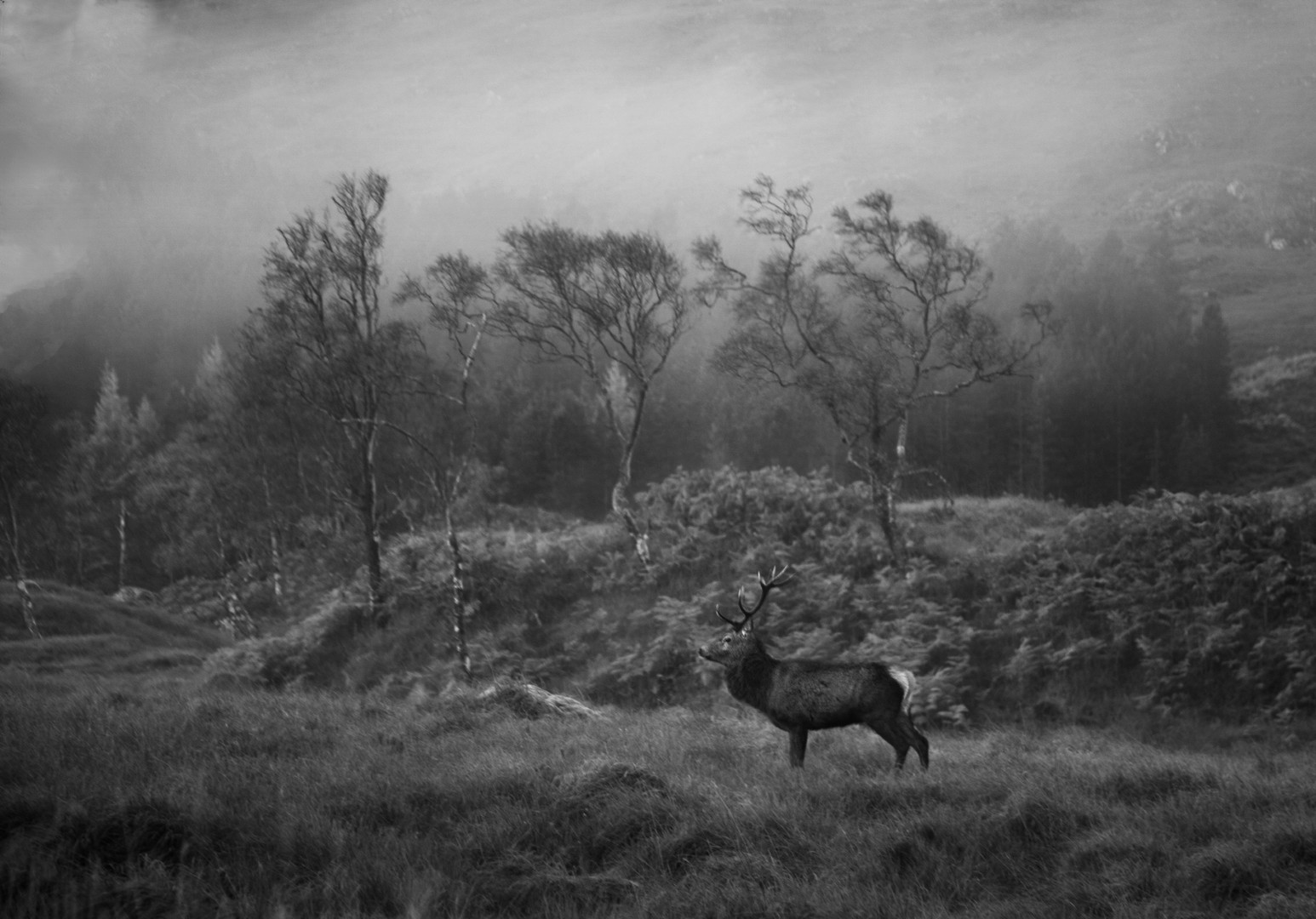 Early Morning Stag