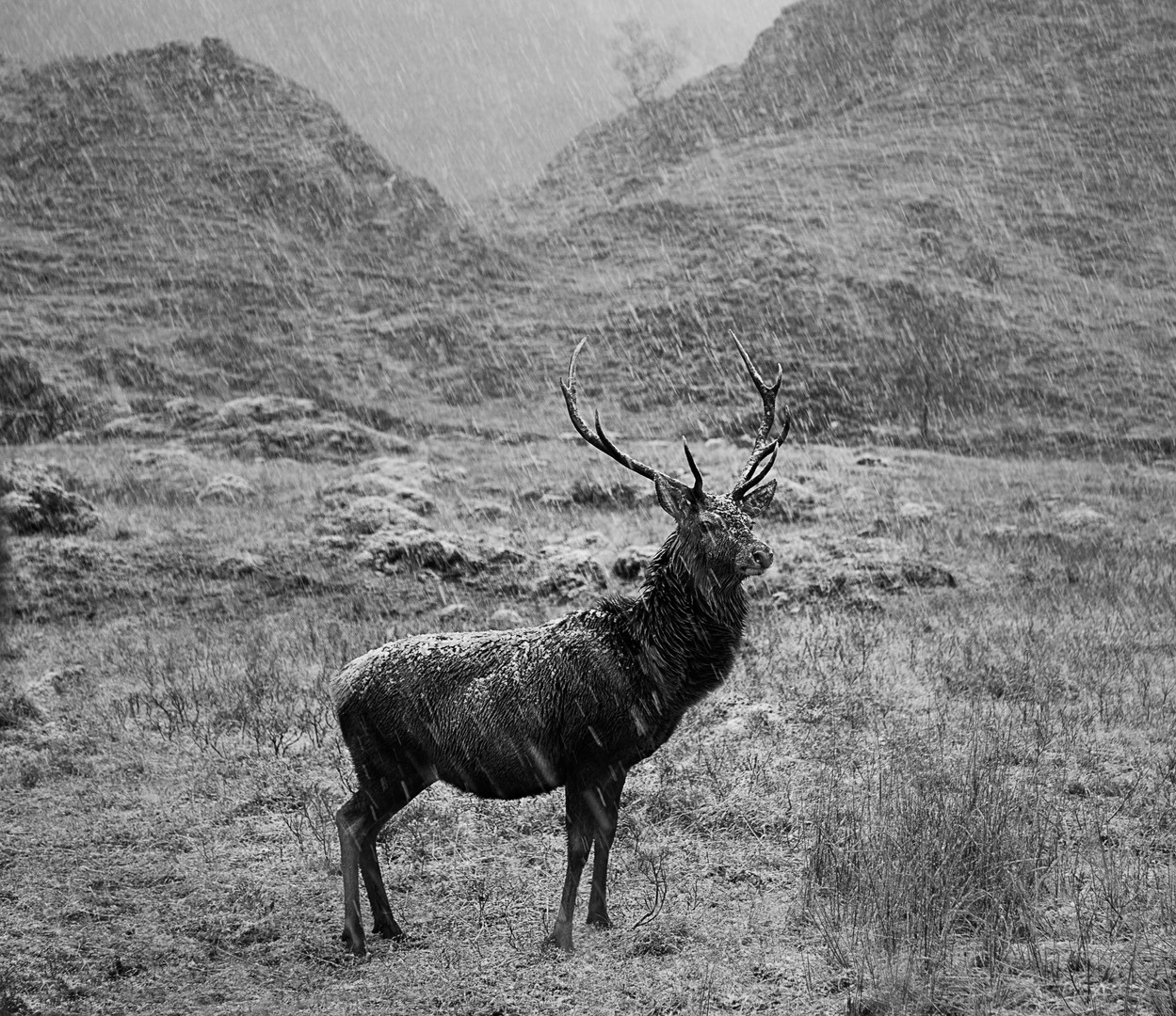 Older Stag in Snowstorm