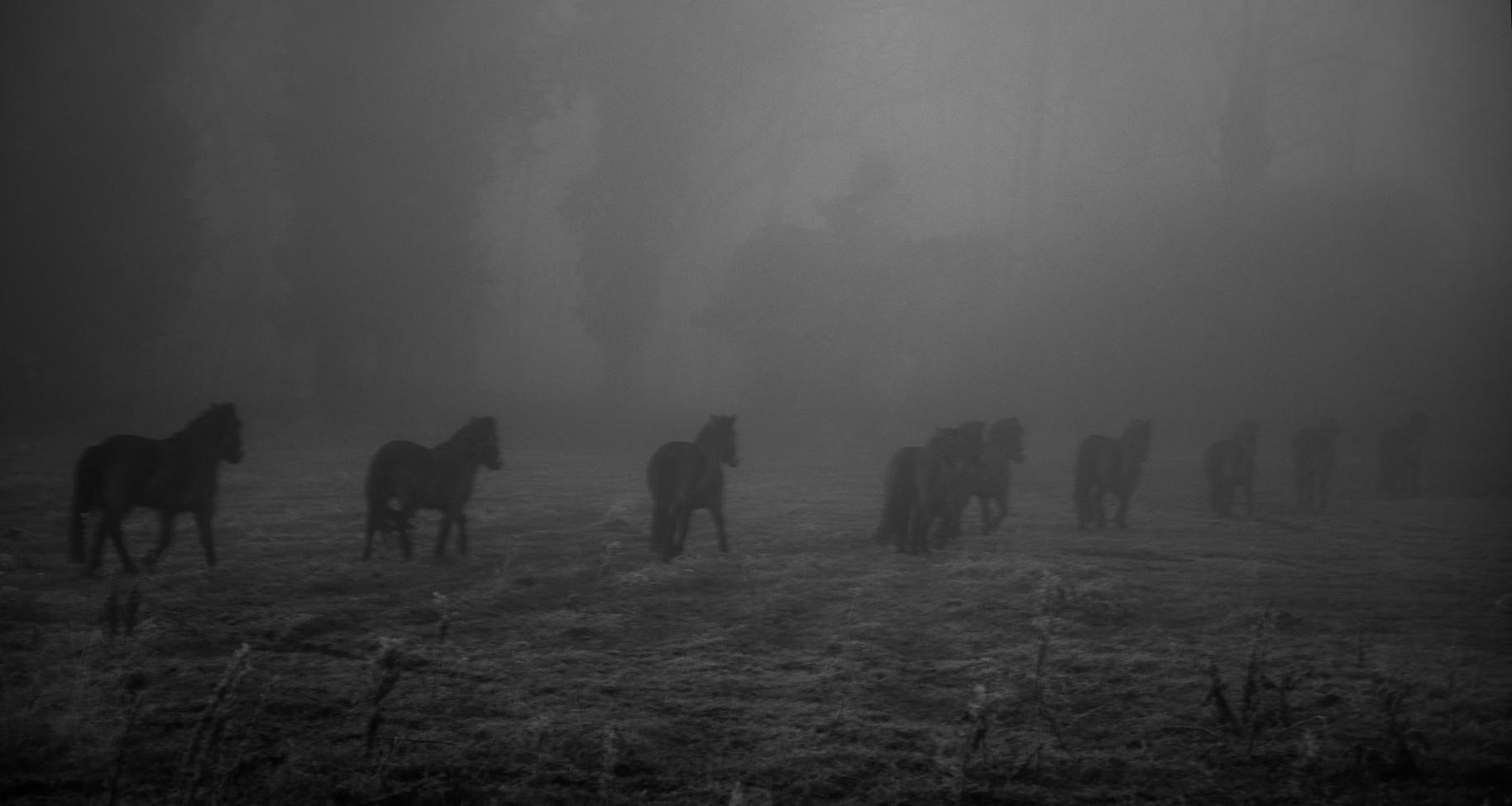 Exmoor Ponies in Mist