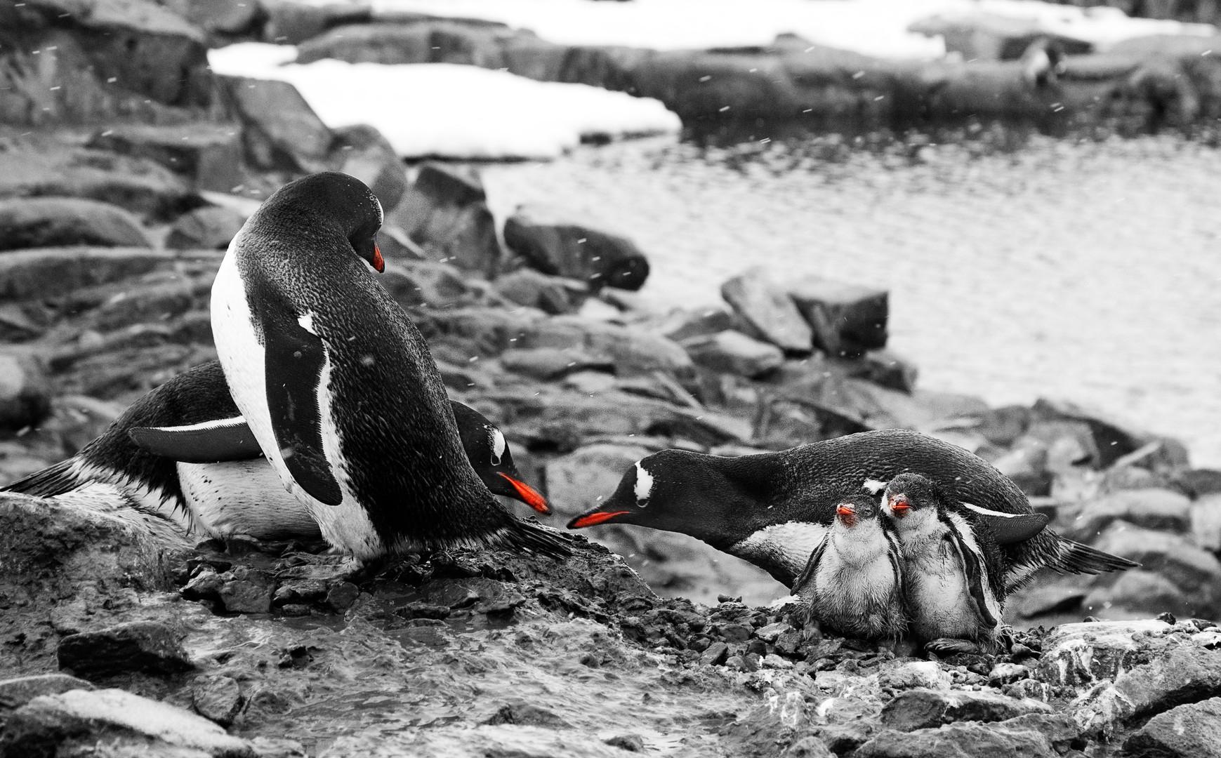 Family Dispute, Gentoo Penguins