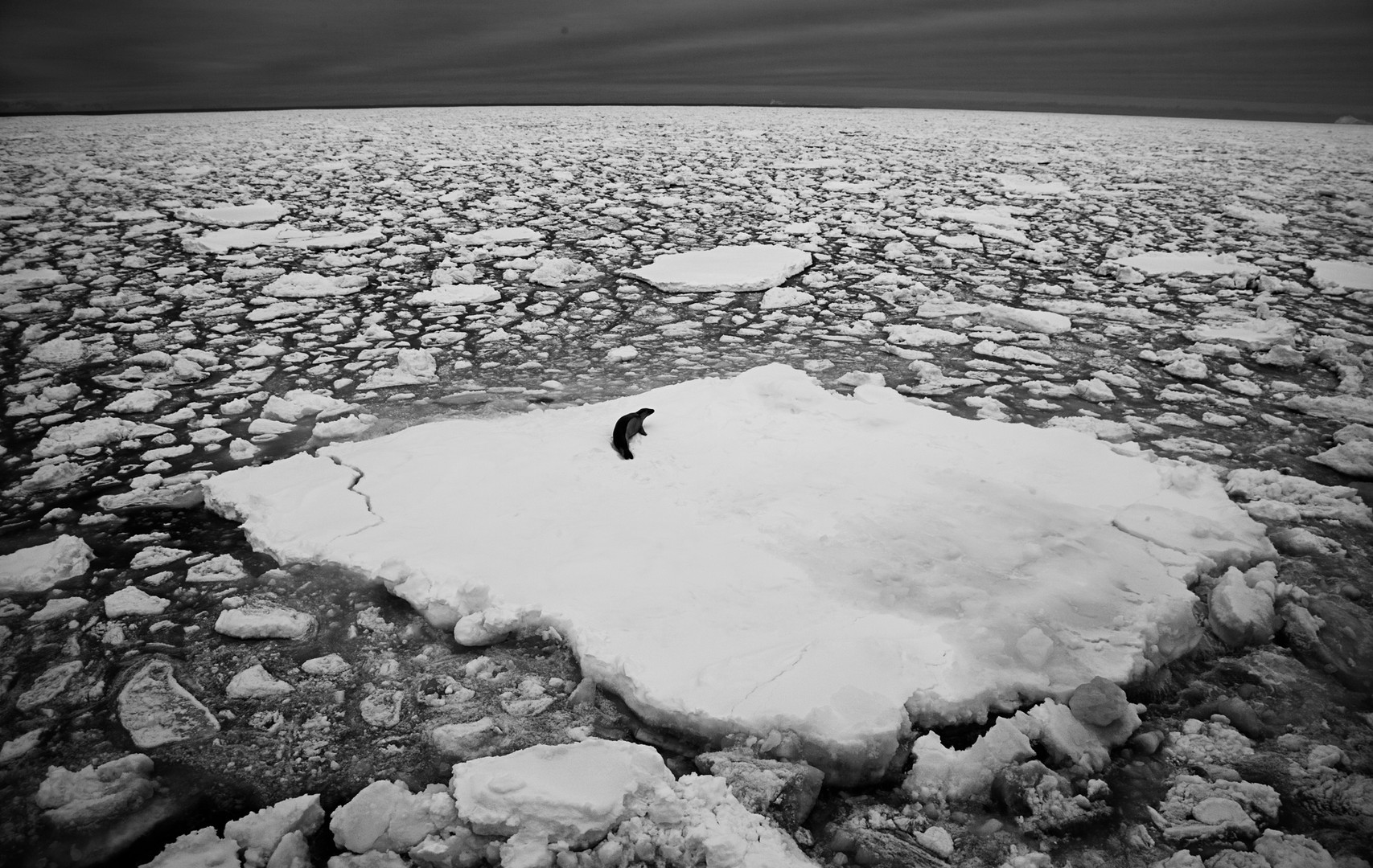 Crabeater (seal) Alone