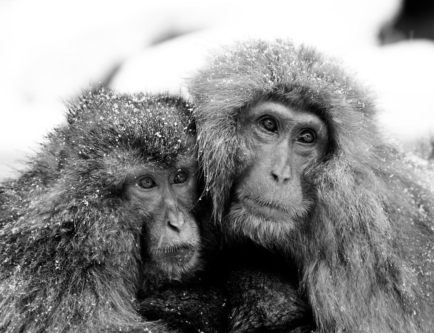 Two Snow Monkeys