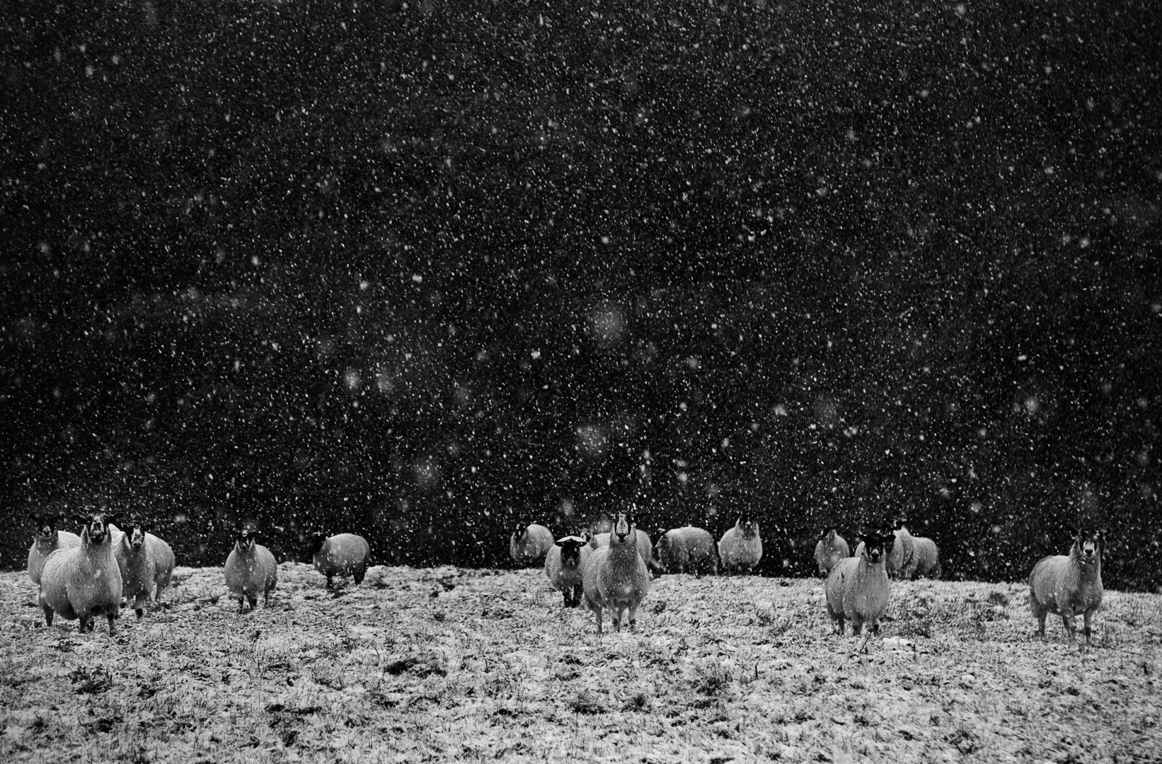 Snowy Sheep Nethercott