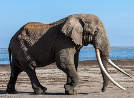 What we can learn from the life of Tim the Tusker