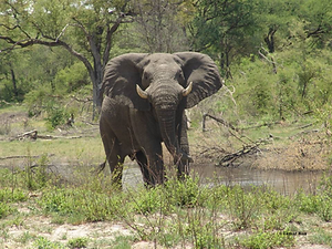 Elephant Angola Tamar Ron.png