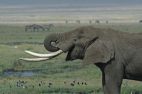 Tanzanian_Elephant.jpg