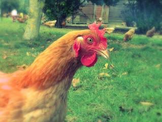 Nos délicieux poulets fermiers!