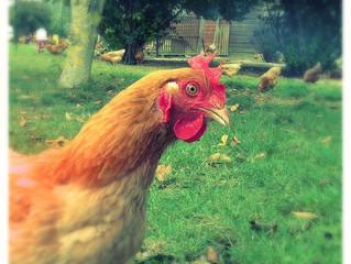 Commandez votre poulet fermier!