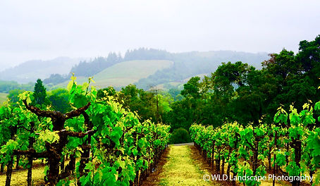 Napa, Wine, Spring, Seasons, Photographer, Photography, Photo, Ladscape, Nature