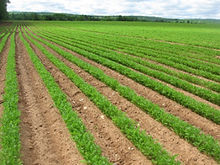 carrotfarm.jpg