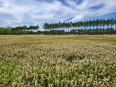 Blossom Field.jpg