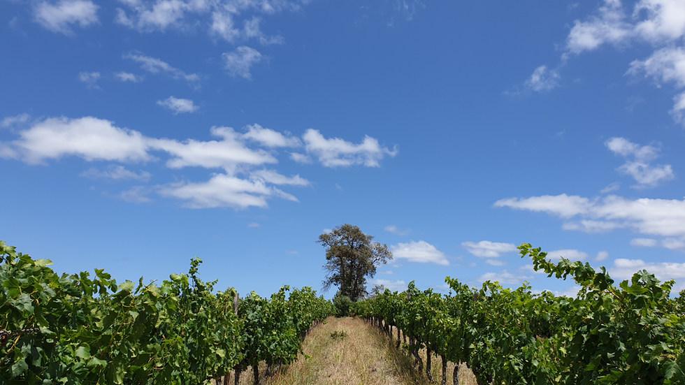 Stanford Vineyard