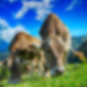 cows-2641195_1280.jpg