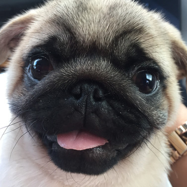 Satchmo the pug loves flute students!