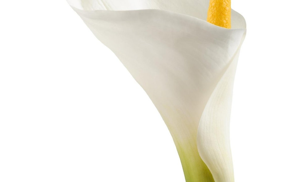 Zantedeschia - Mini Callas White