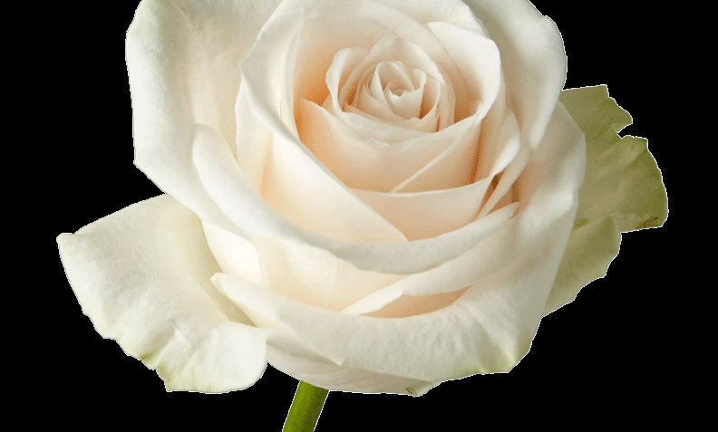 Vendela - Roses (25)
