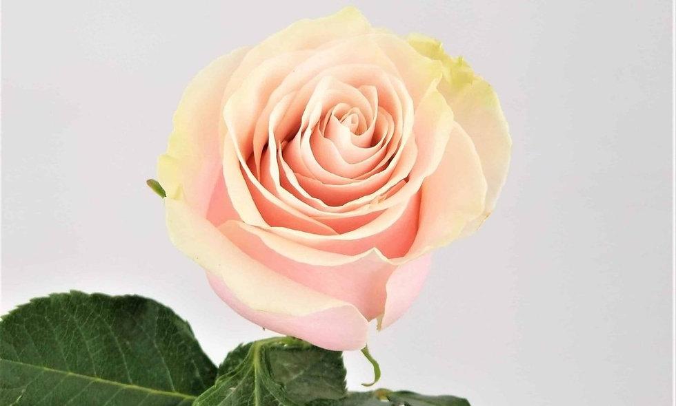 Pink Mondial - Roses