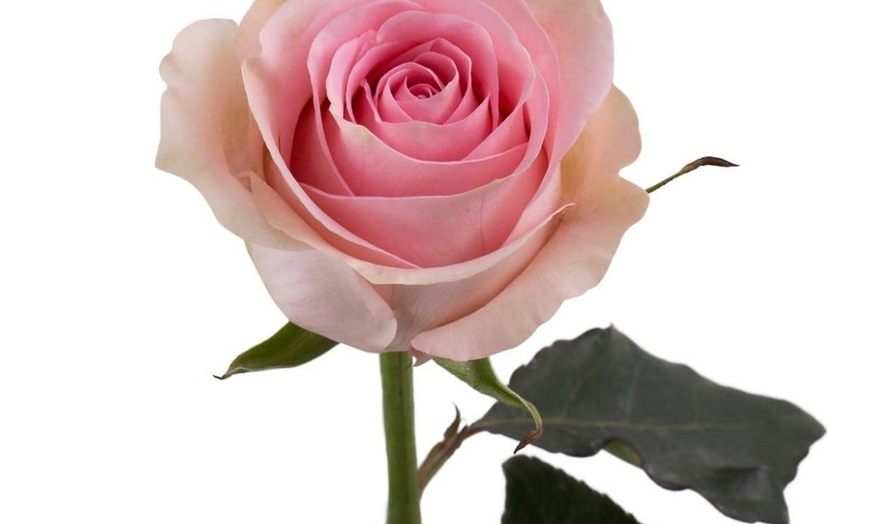 Lucciano - Roses