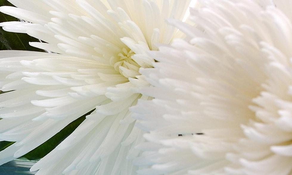 Anastasia White - spider mum - Crisantemo
