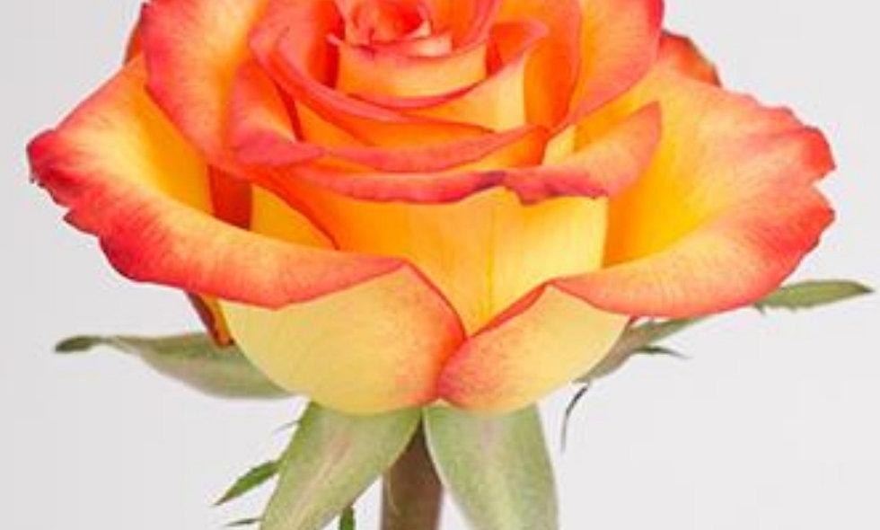 High & Magic - Roses