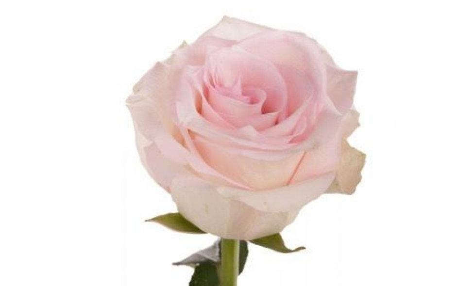 Ragazza - Roses