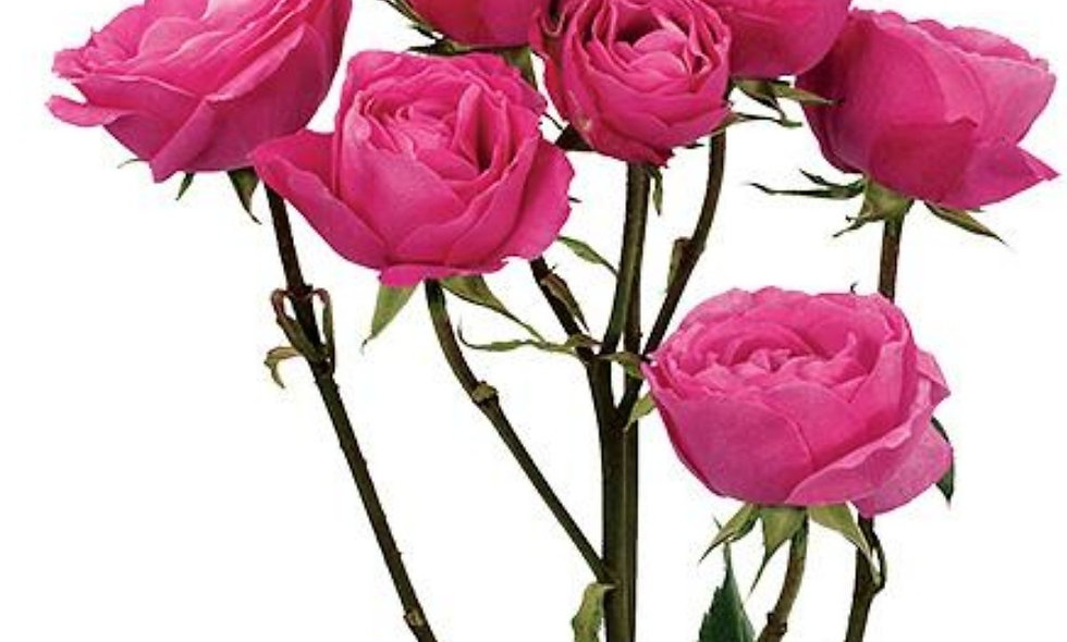 Hot pink follies - Spray Roses hot pink