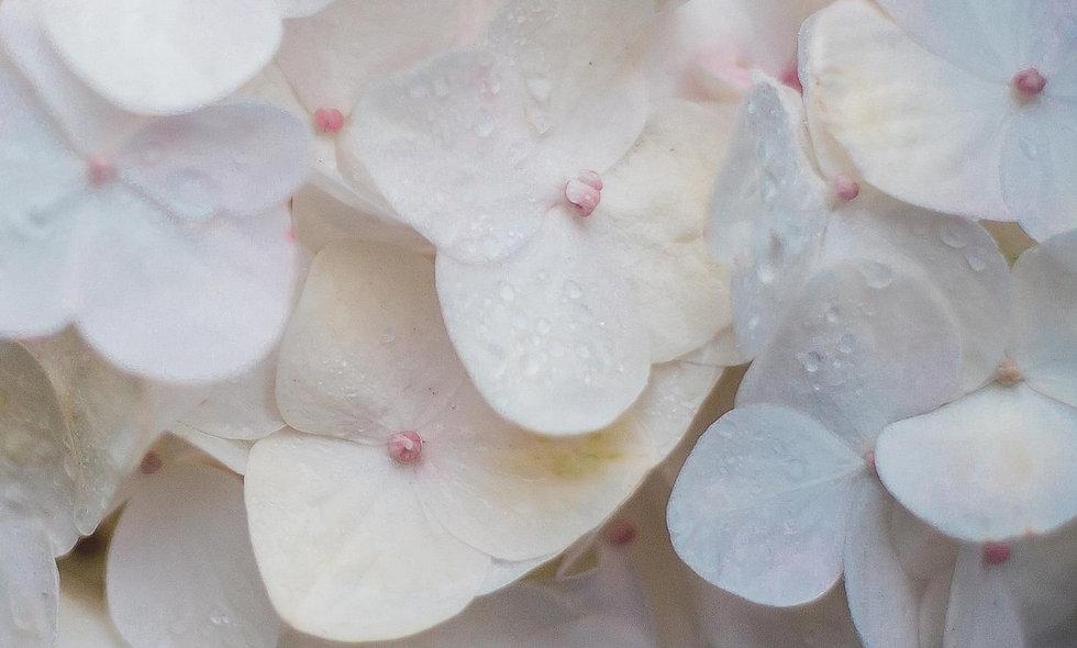 Clarity White Select - Hydrangea White