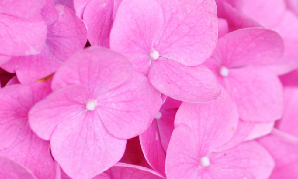 Tinted Pink - Hydrangea Pink