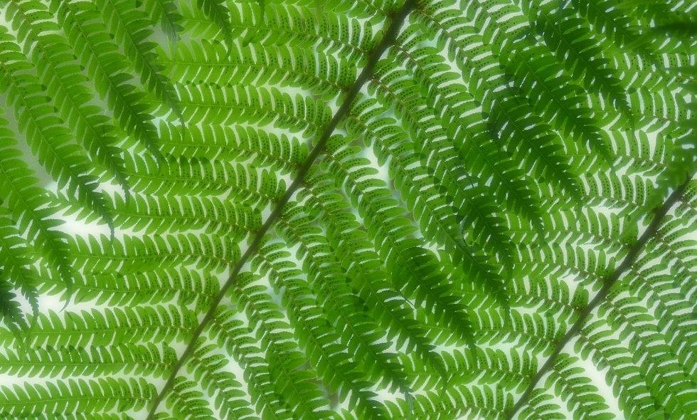 Tree Fern - Tree Fern