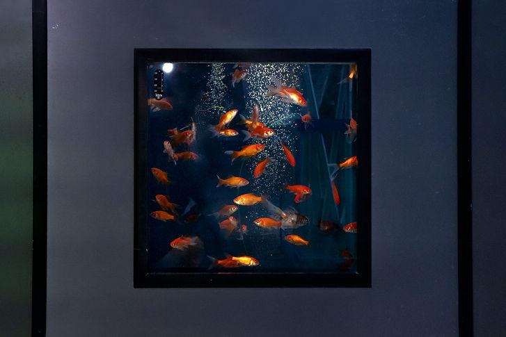 01-Goldfische,-Hornbach-Baumarkt,-Freima