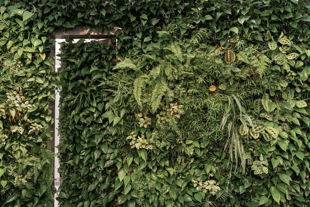 Begrünte Wand neben dem Eingangsbereich eines Kleidergeschäfts, Berlin, 06-2020