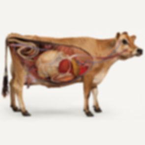 Cow Organ illustration.jpg