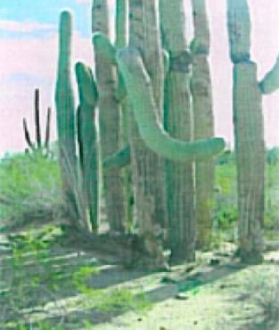saguaro families in the sonoran arizona desert