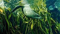 Intrepid Travel-Tasmania_seaweed_seal_sh