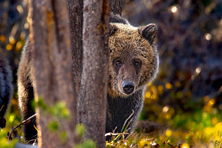 Grizzly in the woods.jpg