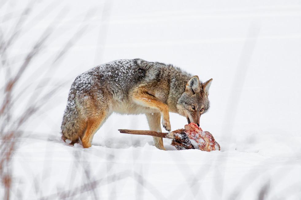 cyote_-3.JPG