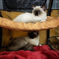 The girls have been getting lots of attention in the #KittenPavilion at the#DenverCountyFair! 💖💗💖