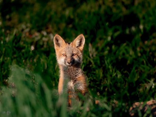 cross fox.jpg