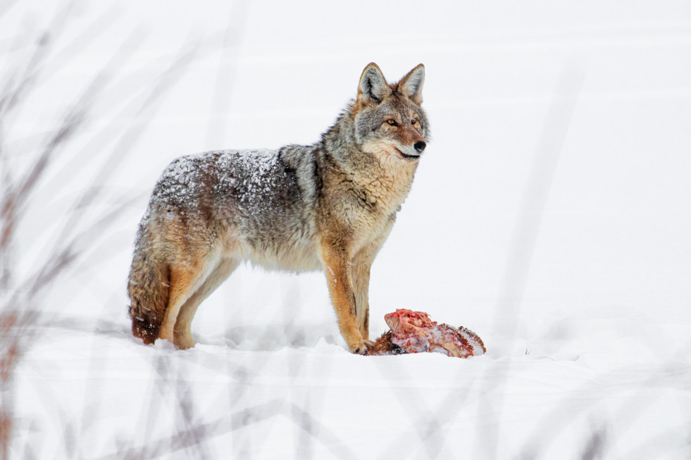 cyote_-4.JPG