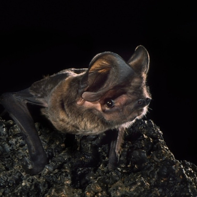 Greater Western Mastiff Bat