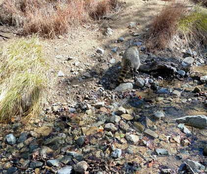 Raccoon running through a mountain creek after released