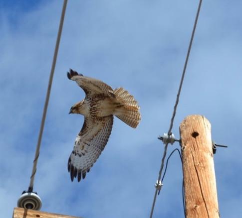 red tailed hawk in flight