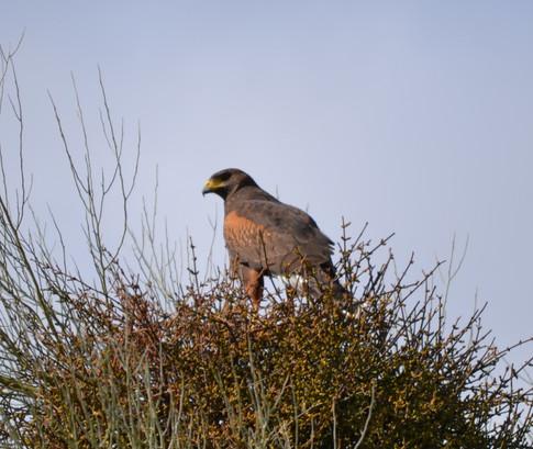 Harris hawk in tree