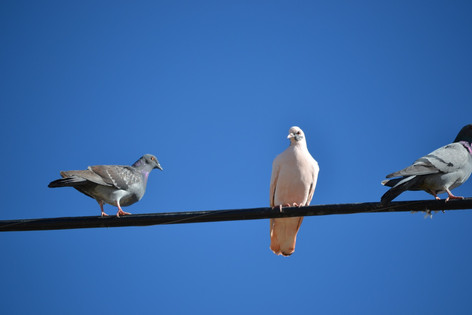 White-colored Pigeon