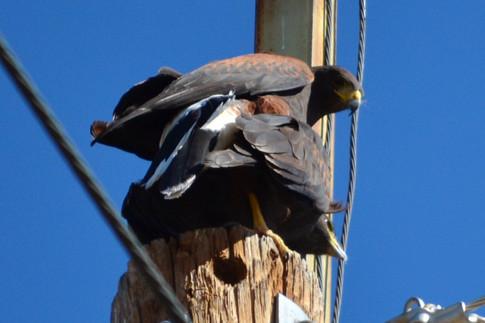 Mating pair of Harris hawks