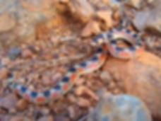 Thornscrub Hook-nosed snake